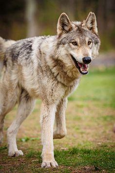 Loup gris <3 <3  <3