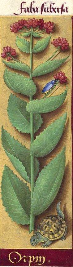 Orpin - Faba subersa (Sedum Telephium L. = reprise, grassette) -- Grandes Heures d'Anne de Bretagne, BNF, Ms Latin 9474, 1503-1508, f°221r