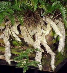 White Rabbit's Foot Fern 3