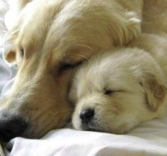 Goldens napping