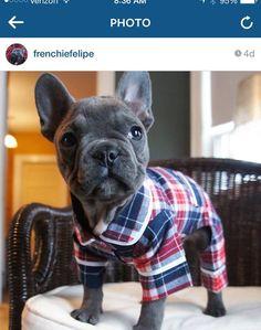 Felipe the French Bulldog in Jammie's