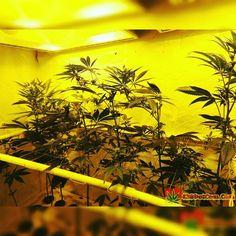 Karma Genetics Karmarado OG Grow (TK X SFV OG X WHITE OG)  High Pressure Aeroponics  1200 Watts  Karmarado OG at 4 weeks. Stretch is on and flowering has started  Full grow journal at:  http://ift.tt/1YzBJiR  TAP LINK IN BIO @howtogrowweed420  #weed #marijuana #cannabis #medicalmarijuana #mmj #ogkush #og #loud #dank #hydroponics #aeroponics #howtogrowweed #growingweed #420dotcom #howtogrow #howtogrowweedindoors #karmagenetics  #awardwinningcircle #karma_squad_strong #karmarado #cinderella99…