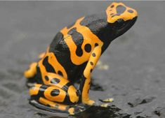 Poison Dart Frog. My uncle used to have these, the blue ones as well. Really cute ( and deadly), amazing to observe!
