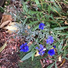 Blue dianthus!