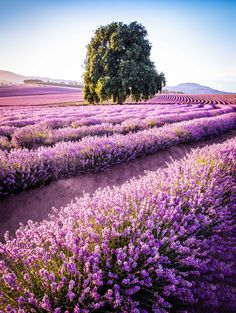 Bridestowe Lavender Farm /Tasmania Road Trip Itinerary for Photographers and Outdoor Lovers Tasmania Road Trip, Tasmania Travel, Places To Travel, Places To See, Nature Photography, Travel Photography, Photography Tips, Portrait Photography, Wedding Photography