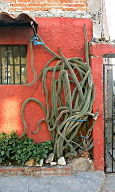 It is a wild-looking cactus, but it adds a lot to the house.