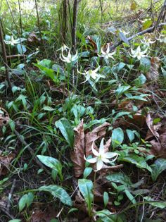 Fawn Lilies Lilies, British Columbia, Flowers, Plants, Irises, Florals, Orchids, Royal Icing Flowers, Lily