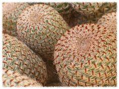 cactus y crasas: Thelocactus bicolor