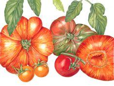 Heirloom Tomatoes - Sally Jacobs