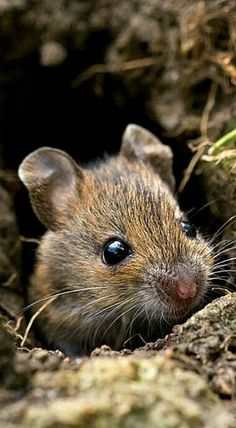 Feldmaus Feldmaus Feldmaus You are in the right place about Animals tattoo Here we offer Woodland Creatures, Cute Creatures, Beautiful Creatures, Amazing Animals, Animals Beautiful, Animals And Pets, Funny Animals, Strange Animals, Wild Animals