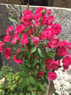 ❤️❤️ Um buquê de mini rosas presente de Deus!!