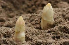 How to grow asparagus, step by step