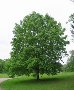 Horse chestnut tree - the deer can digest the fruit which is poisonous to other mammals