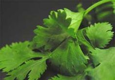 Yummy cilantro - I never have a problem growing it, the plants have a hard time bushing out, though, because I am constantly plucking and eating the fresh, distinctively flavored leaves. A must for Mexican dishes and also great in omlettes or simply tossed with other greens in a salad.