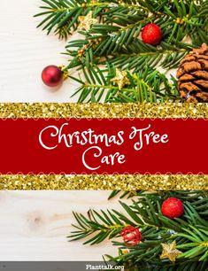 Live Christmas Trees, Produced by Tagawa Gardens, a partner in PlantTalk Colorado. Christmas Tree Care, Live Christmas Trees, Outdoor Christmas, Gardening Tips, Colorado, Spirit, Plants, Aspen Colorado, Plant