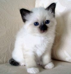 Just what the Dr ordered - a seal point beautiful boy Birman xx