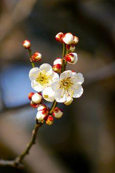 yuikki: 2013 Ume l Yorkey&Rin Spring Blossom, Blossom Flower, Flower Art, Art Floral, Amazing Flowers, Pretty Flowers, Spring Flowers, Wild Flowers, Imagen Natural