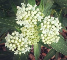 White flowering swamp #milkweed is a gardener favorite.  I have a small supply left and available in my newest shop lust in my bio. There is still time to cold stratify!  #monarchbutterfly #monarchwaystation #monarchbutterflyhabitat #plantmilkweed #bringbackthemonarchs #ifyouplantittheywillcome