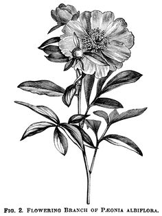 Here are beautiful vintage clip art illustrations of three varieties of peonies. Fig. 2 represents a flowering branch of Peony Albiflora;Fig. 5. represents a flowering branch of Peony Tenuifolia Fl…