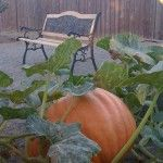 Organic Big Max Pumpkin grown entirely in compost with no supplements!