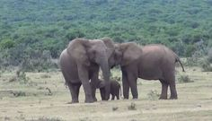 And then mom nuzzles dad's ear. | This Baby Elephant Being Reunited With His Dad Is The Cutest Thing You��019ll See Today