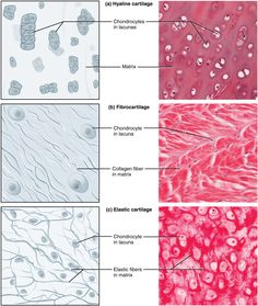 What is the difference between Bone and Cartilage? Bone is a strong, nonflexible connective tissue while cartilage is a flexible connective tissue. Skin Anatomy, Anatomy Study, Tissue Biology, Hyaline Cartilage, Histology Slides, Tissue Types, Nursing School Notes, Medical School, Medical Laboratory Science