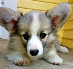 Tegan the Pembroke Welsh Corgi