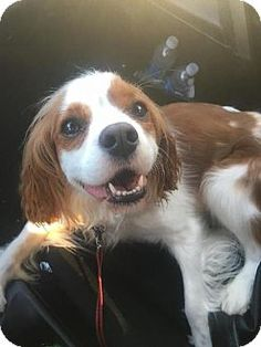 8/12/16 Rochester, MN - Cavalier King Charles Spaniel. Meet George, a dog for adoption…