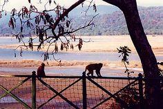 Monkeys frolicking around Dhikala base camp, Corbett national park. Jim Corbett National Park, Monkey Pictures, Wild Elephant, Nainital, Monkeys, Safari, National Parks, Wildlife, Base