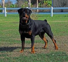 colorful pictures of rotties | Loral's Nine MM von Darserhaus | Rottweiler Nation