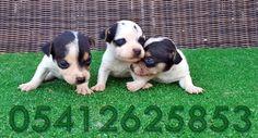 yavru jack russel terrier