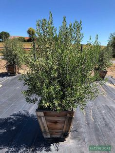 Olea europaea 'Skylark Dwarf' - Olive Skylark, Dwarf, Plants, Plant, Dwarfism, Planting, Planets