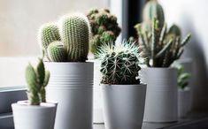 Saiba como usar os cactos na decoração dos ambientes. Eles trazem praticidade e estilo para dentro de casa. Confira algumas dicas.