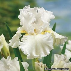 Iris Immortality from American Meadows your trusted source for Iris. We offer gardeners guaranteed Bearded Iris Immortality and all the information and confidence needed to succeed. Iris Flowers, Bulb Flowers, White Flowers, Beautiful Flowers, Planting Bulbs, Planting Flowers, Flower Gardening, Spring Perennials, Iris Rhizomes