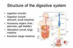 Accessory Organs Of The Digestive System Pleasing The Human Body Is A Living System That Stores Transmits And Review