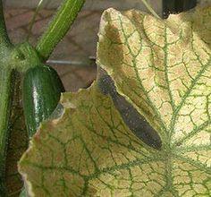 Чем обработать огурцы желтеют листья