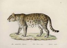 Karl Brodtmann Felis Onca, mas. (Male Jaguar)