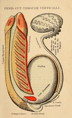 Anatomy and physiology of the male system. 1884.