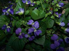 Wild Violets | violet flower Wild Violets