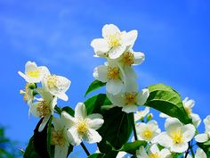 28 AWESOME BENEFITS OF JASMINE.   Plants continue to play an integral role in both orthodox and tradit....   #Jasmine.