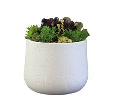The Serralunga Memory Pot bowl is overflowing with a stunning selection of seasonal succulents. It will instantly bring life to your outdoor area. Succulent Bowls, Succulents, Water Garden, Western Australia, Indoor Plants, Warehouse, Planter Pots, Great Gifts, Display