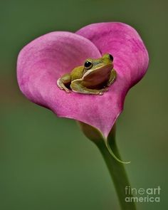 Such a beautiful pairing of pink and green and a little frog nestled in a heart shaped flower (potentially a calla lily?). A plush pink petal throne for frog royalty.