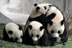 baby Pandas always look the same from birth to death....