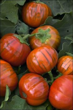 Eggplant, Turkish Orange: Native to Turkey, this heirloom variety is a favorite of Italian gardeners and chefs. The petite plants produce abundant yields of round, red-orange 3 fruit. Eat when the fruits are young and in the green stage. Eggplant Varieties, Eggplant Seeds, Organic Plants, Small Plants, Fruit And Veg, Fruits And Vegetables, Growing Eggplant, Edible Garden, Fruit Trees