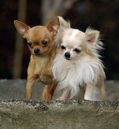 pictures of chihuahuas | sierść : chihuahua długowłosa ma sierść długom i falistom ...
