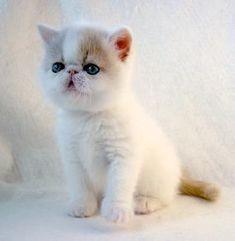 Persian Cat pics of short hair persians Teacup Persian Cats, Himalayan Persian Cats, Persian Kittens For Sale, Most Beautiful Animals, Beautiful Cats, Cute Kittens, Cats And Kittens, Exotic Cats, Exotic Shorthair