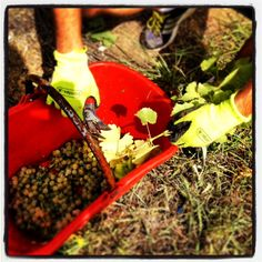 It's time to #harvest: the first #grapes we pick are #merlot #sauvignon and #chardonnay #umbertocesari