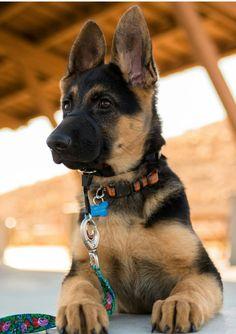 Adorable German Shepherd Puppy #GermanShepherds