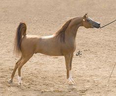 Arabian stallion LD Pistal