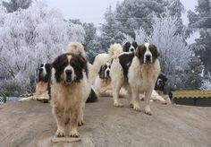Well-known judge and Molosser expert Rafael Malo Alcrudo tells the story of the rare Pyrenean Mastiff, which is also the story of his life and roots in this rugged corner of Spain. Modern Molosser  |  www.modernmolosser.com